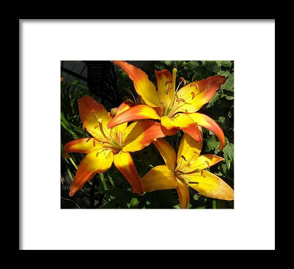 Daylilies Framed Print featuring the photograph Daylilies Dressed In Their Best by Jeanette Oberholtzer