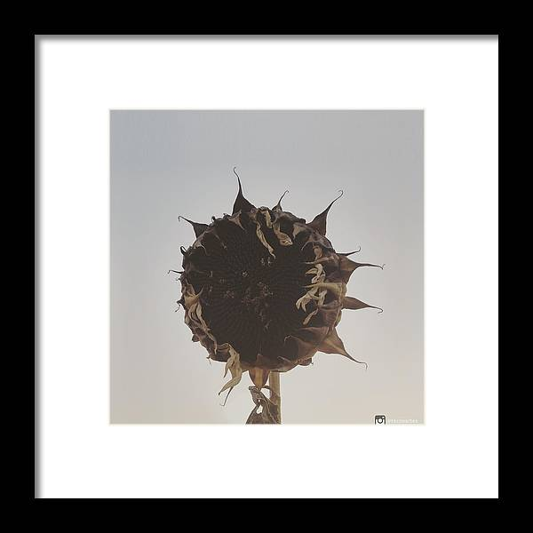 Withered Framed Print featuring the photograph Dead Sunflower by Miguel Angel