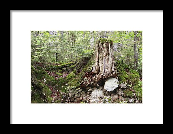 White Mountain National Forest Framed Print featuring the photograph Decaying Tree Stump by Erin Paul Donovan