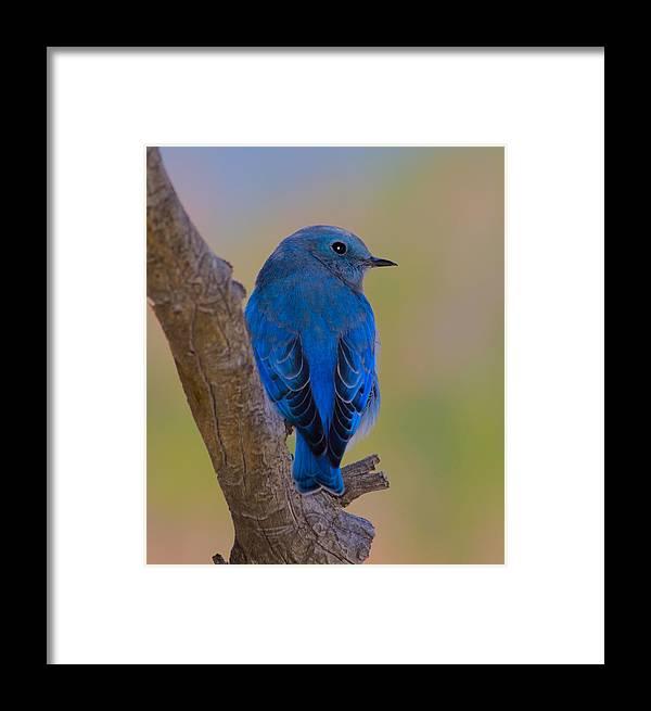 Bluebird Framed Print featuring the photograph Deep Blue by Shane Bechler