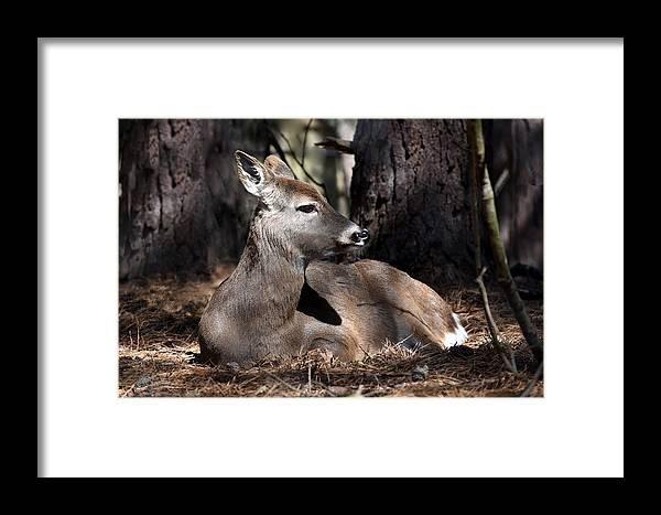 Deer Framed Print featuring the photograph Deer 336 by Joyce StJames