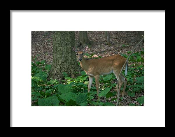Animal Framed Print featuring the photograph Deer 7414 by Michael Peychich
