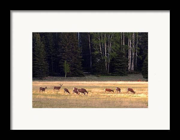Deer Framed Print featuring the photograph Deer At Kaibab Meadows by Neil Doren