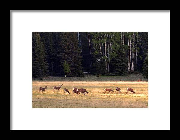 Deer Framed Print featuring the photograph Deer At Kaibab Meadows by Neil Doren