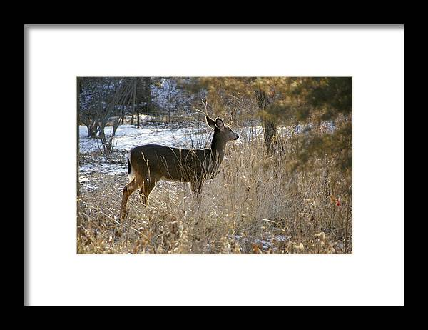 Deer Framed Print featuring the photograph Deer in Morning light by Toni Berry