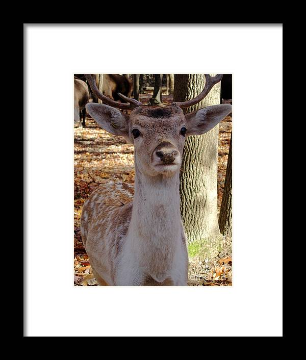 Deer Framed Print featuring the photograph Deer Me by S Cyr