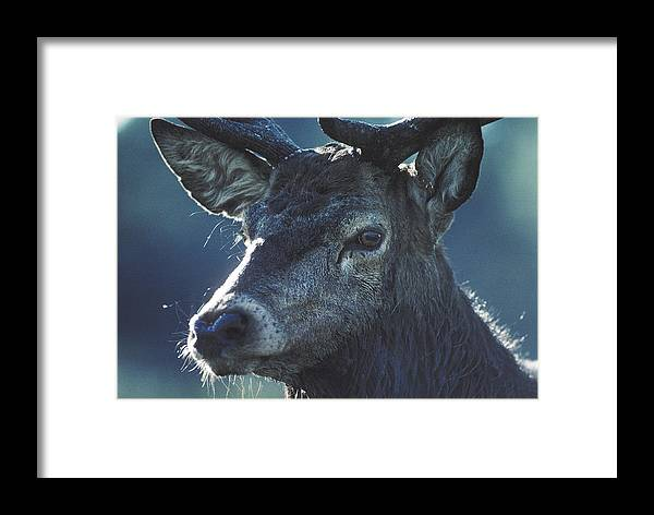 Wildlife Framed Print featuring the photograph Deer by Steve Somerville