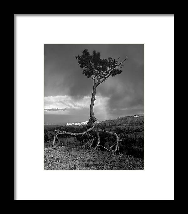Tree Framed Print featuring the photograph Defiant by William Gillam