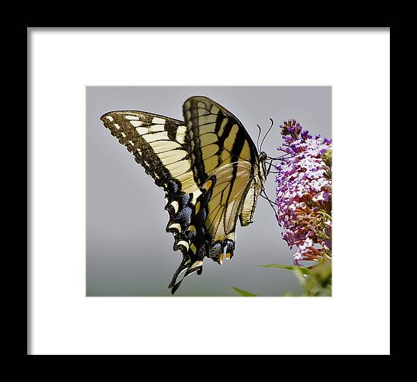 Butterfly Framed Print featuring the photograph Delicate Beauty by John Holloway