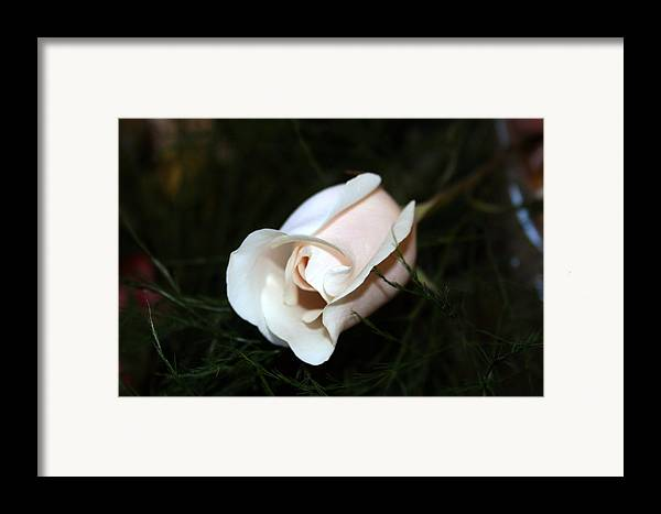 Rose Framed Print featuring the photograph Delicate Pink by Bob Gardner