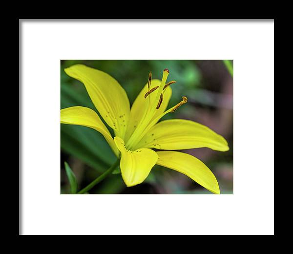 Yellow Framed Print featuring the photograph Delicate Yellow Oriental Lily by Kathy Clark
