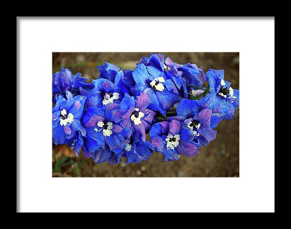 Framed Print featuring the photograph Delphinium by Christine Dellosso