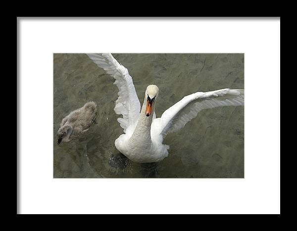 Nobody Framed Print featuring the photograph Denmark, Copenhagen Swan Flaps Her Wing by Keenpress