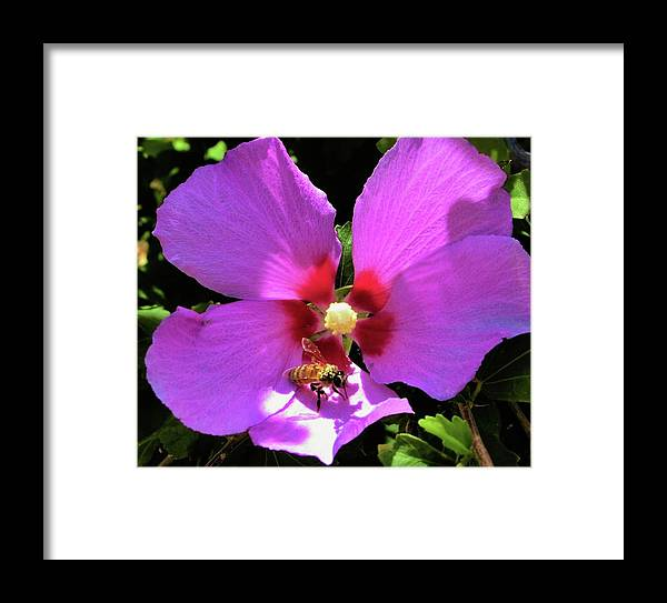 Honey Bee Framed Print featuring the photograph Desert Hibiscus With Honey Bee by Lois Rivera