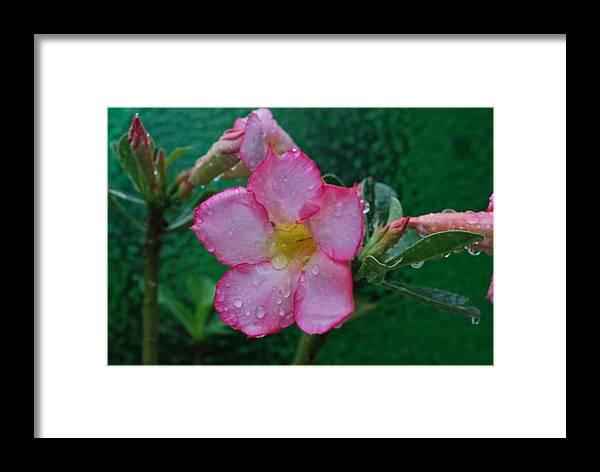 Rose Framed Print featuring the photograph Desert Rose On Green by John Roncinske