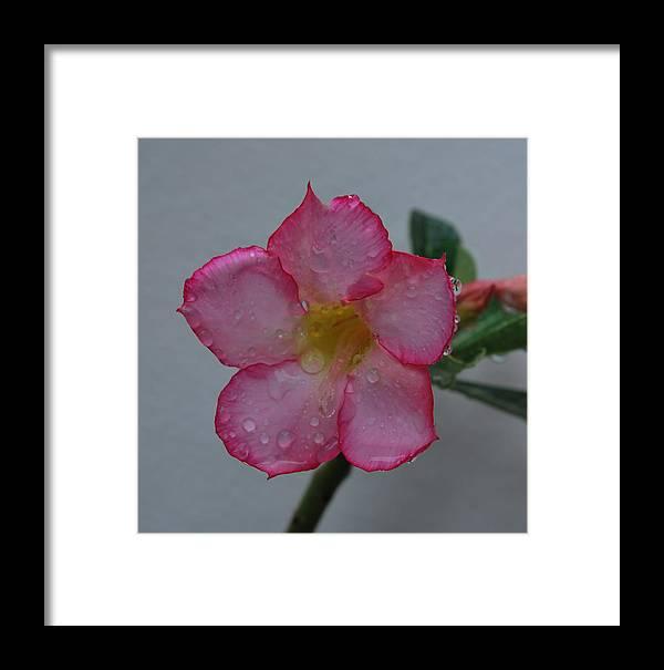 Rose Framed Print featuring the photograph Desert Rose On White by John Roncinske