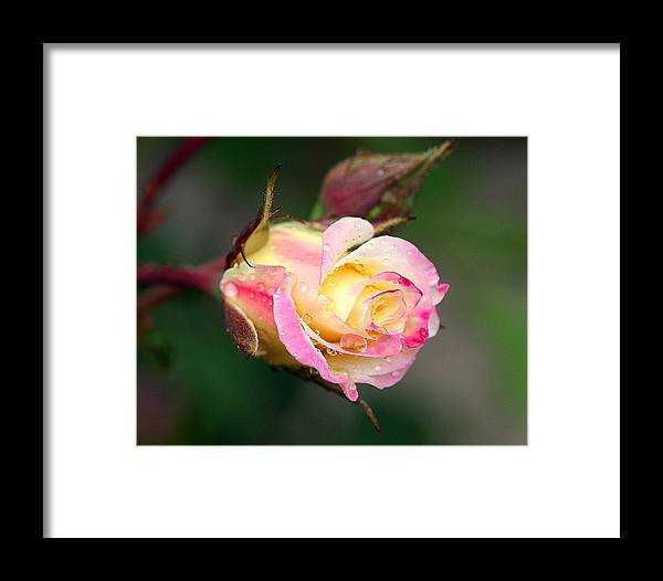 Rose Framed Print featuring the photograph Dew Drop Rose by Kerry Reed