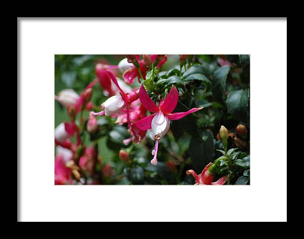 Flower Framed Print featuring the digital art Dew On The Flower by Jonathan Galente