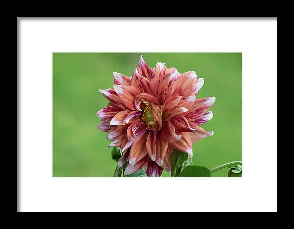 Flower Pink Red Beautiful Framed Print featuring the photograph Dhalia 2 by Zachary Webb
