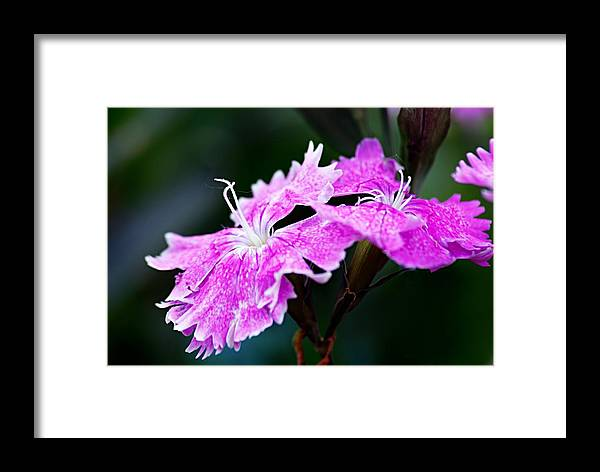 Flower Framed Print featuring the photograph Dianthus by Larry Ricker