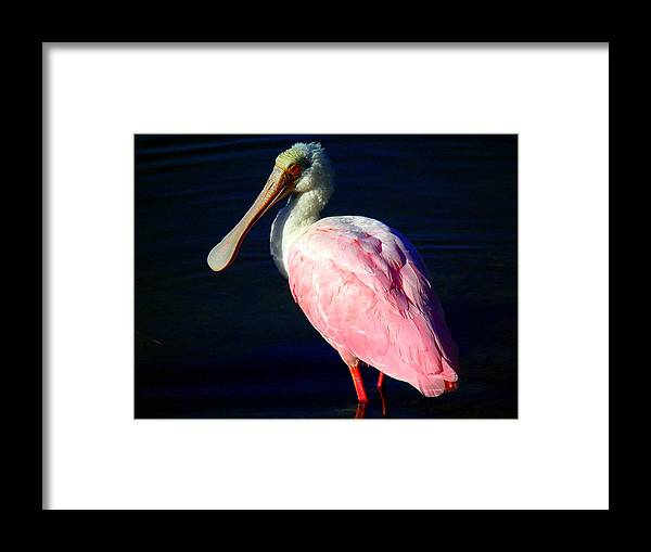 Wildlife Framed Print featuring the photograph Ding Darling Spoonbill by Wayne Skeen