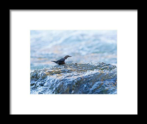 Lynmouth Framed Print featuring the photograph Dipper Searching For Food by Alan Grant