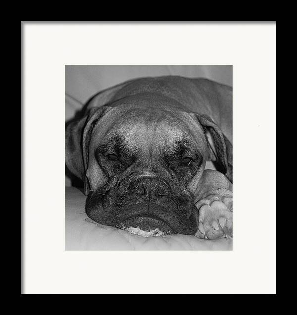 Boxer Framed Print featuring the photograph Disturbing His Nap by DigiArt Diaries by Vicky B Fuller