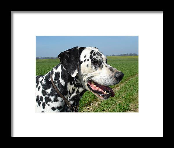 Dog Framed Print featuring the photograph Dodgy The Dalmation by Susan Baker