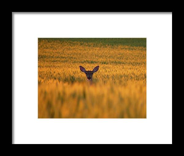 Golden Framed Print featuring the photograph Doe In The Wheat by William Caine