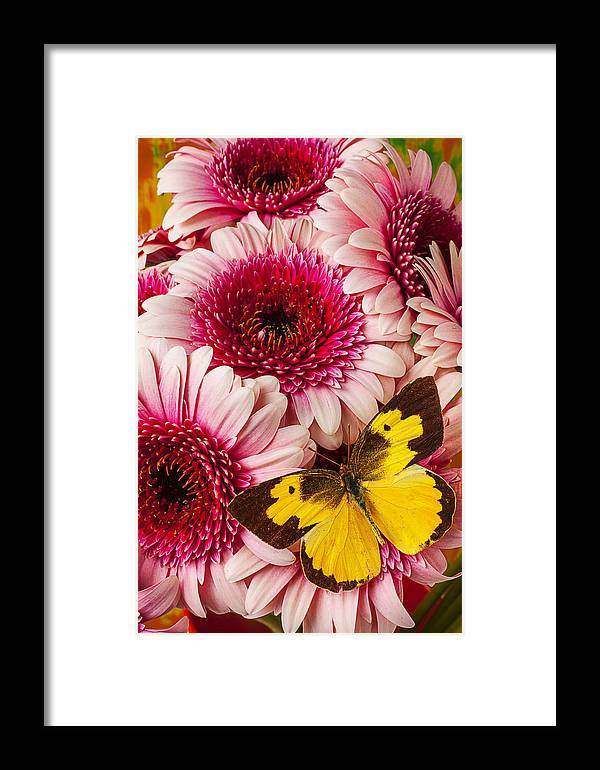 Dog Face Butterfly Butterflies Framed Print featuring the photograph Dog Face Butterfly On Pink Mums by Garry Gay