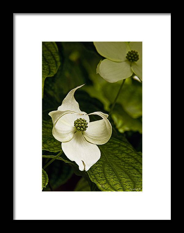 Flora Framed Print featuring the photograph Dogwood Ballet by Daniel G Walczyk