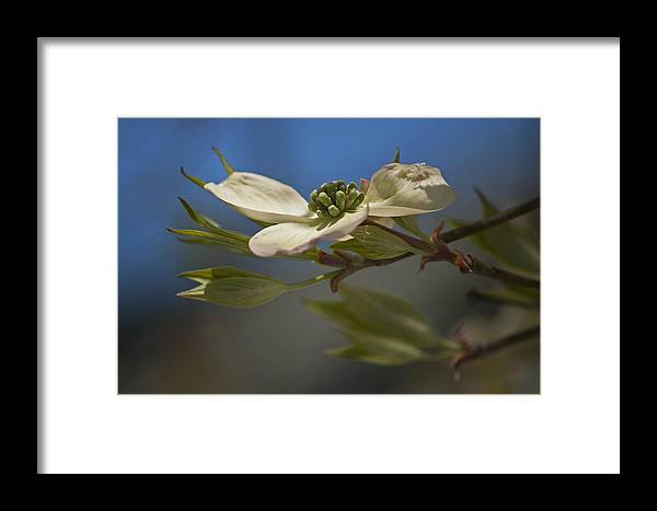 Dogwood Framed Print featuring the photograph Dogwood Bloom by Elsa Marie Santoro