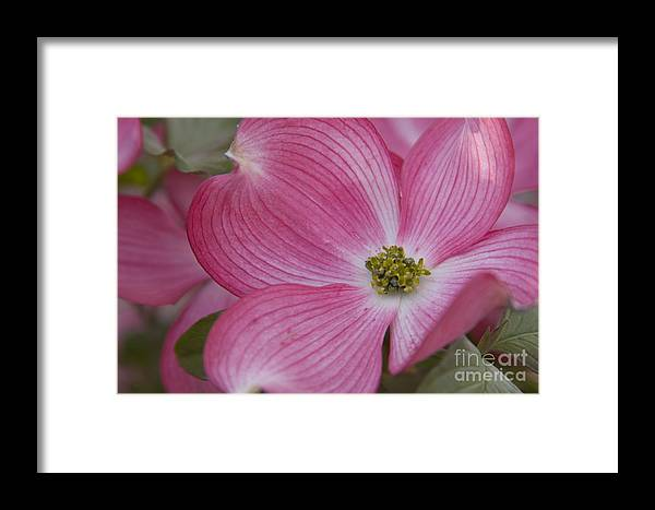 Dogwood Framed Print featuring the photograph Dogwood Bloom by Idaho Scenic Images Linda Lantzy