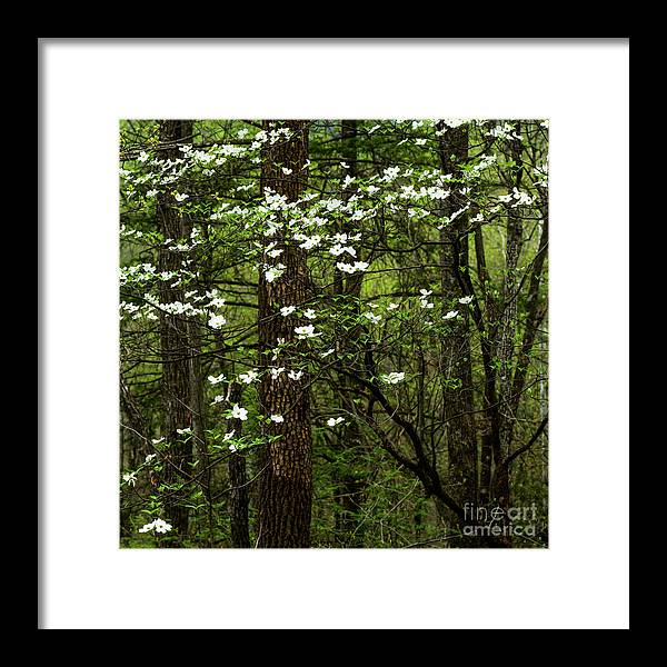 Spring Framed Print featuring the photograph Dogwood Blooming In Forest by Thomas R Fletcher