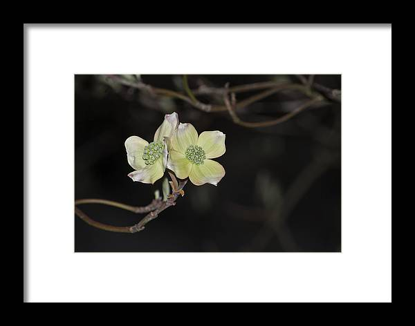 Dogwood Framed Print featuring the photograph Dogwood Blooms by Elsa Marie Santoro