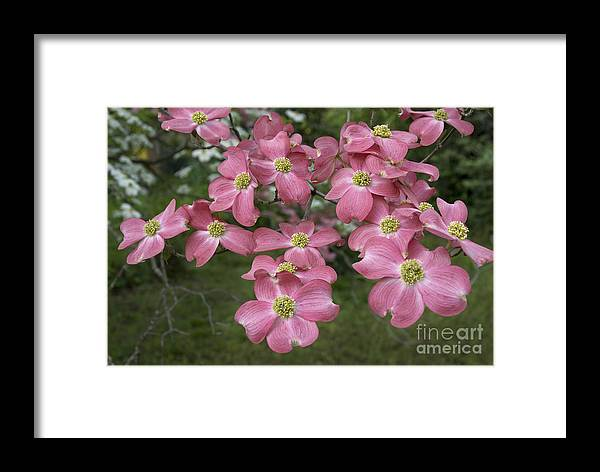 Scenic Framed Print featuring the photograph Dogwood Blossoms by Richard Verkuyl