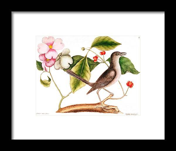 Mockingbird Framed Print featuring the painting Dogwood Cornus Florida, And Mocking Bird by Mark Catesby