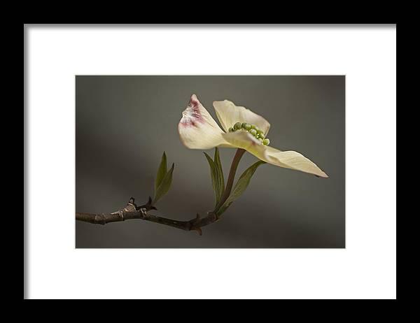 Flower Framed Print featuring the photograph Dogwood by Elsa Marie Santoro