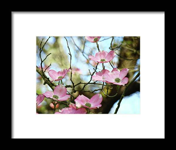 Dogwood Framed Print featuring the photograph Dogwood Flowers Pink Dogwood Tree Landscape 9 Giclee Art Prints Baslee Troutman by Baslee Troutman