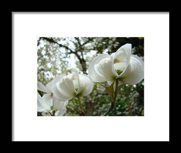 Dogwood Framed Print featuring the photograph Dogwood Flowers White Dogwood Trees Blossoming 8 Art Prints Baslee Troutman by Baslee Troutman
