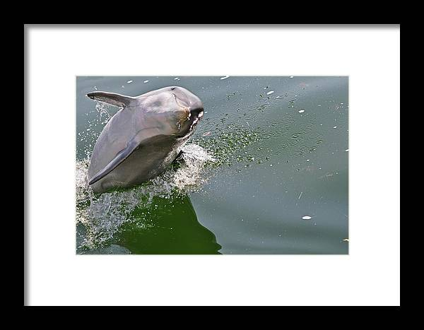 Dolphin Framed Print featuring the photograph Dolphin At Play by Don McBride