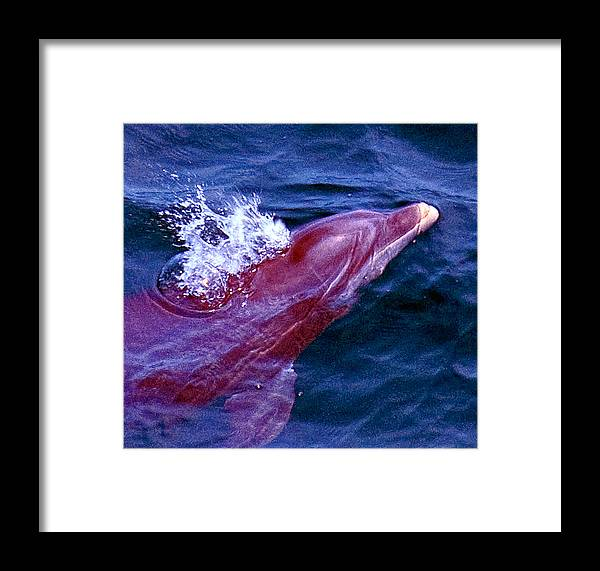 Dolphin Framed Print featuring the photograph Dolphin In The Gulf by Bill Perry