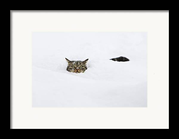 Mp Framed Print featuring the photograph Domestic Cat Felis Catus In Deep Snow by Konrad Wothe