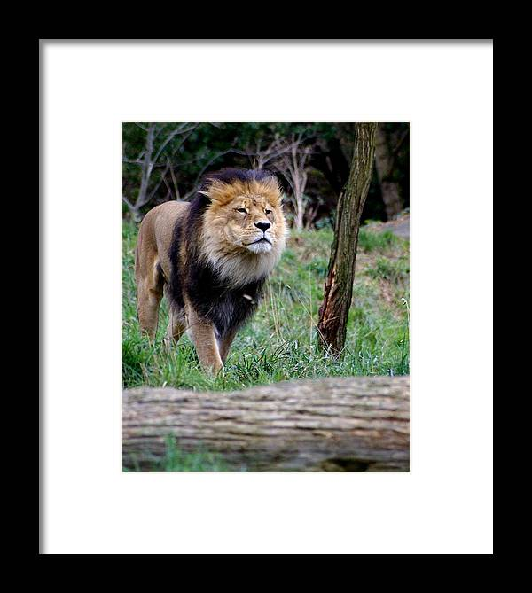 Zoo Framed Print featuring the photograph Dominance by Sonja Anderson