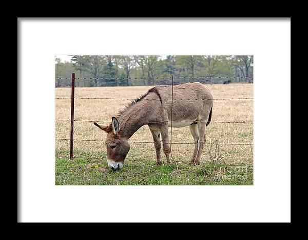 Donkey Framed Print featuring the photograph Donkey Finds Greener Grass by Catherine Sherman