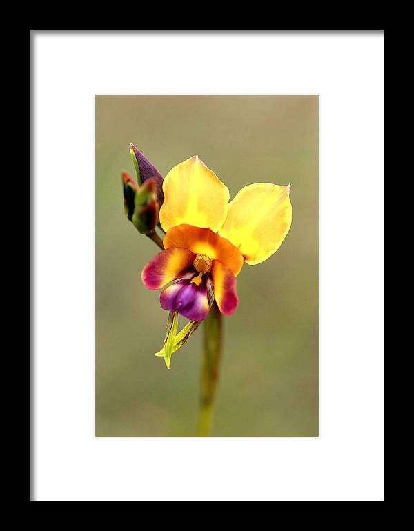 Flower Framed Print featuring the photograph Donkey Orchid by Tony Brown