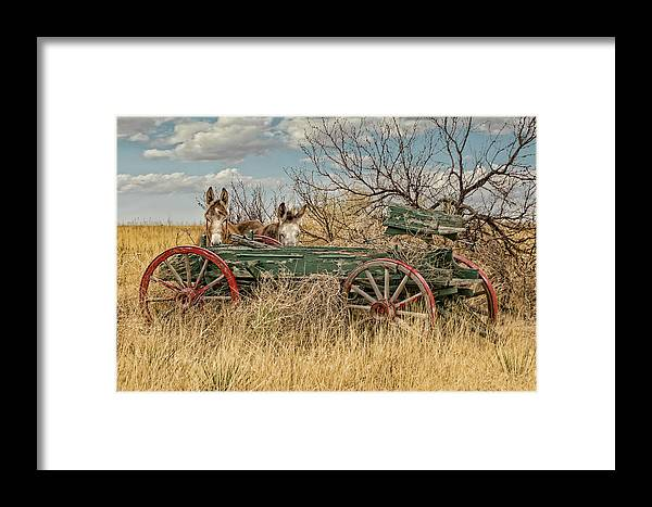 Donkeys Framed Print featuring the photograph Donkeys by Sherry Adkins