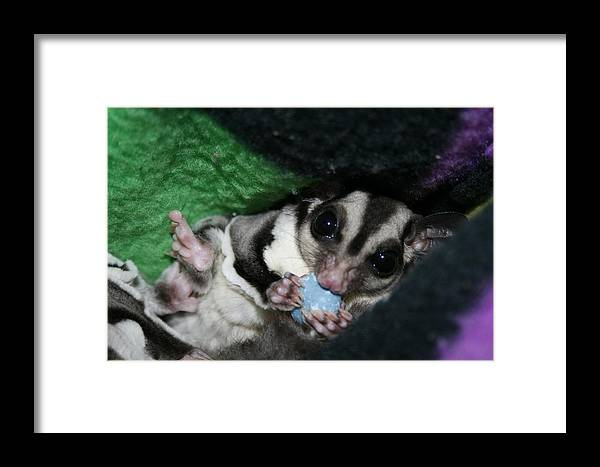 Sugar Glider Framed Print featuring the photograph Don't Bother Me I Am Eating by Deborah Napelitano