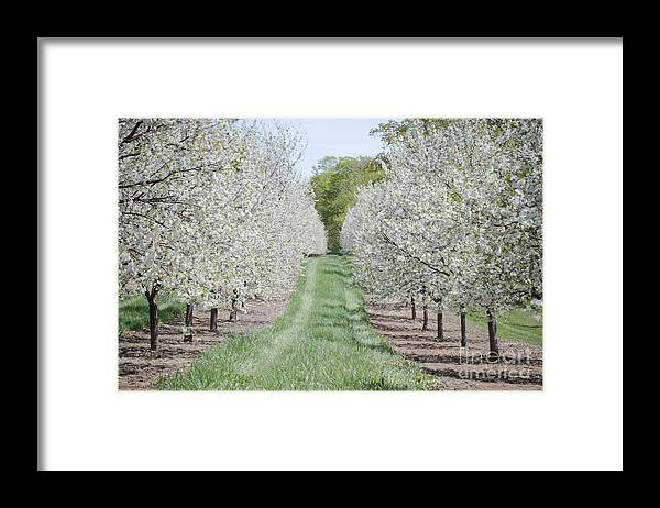 Door County Framed Print featuring the photograph Door County Cherry Blossoms by Nikki Vig