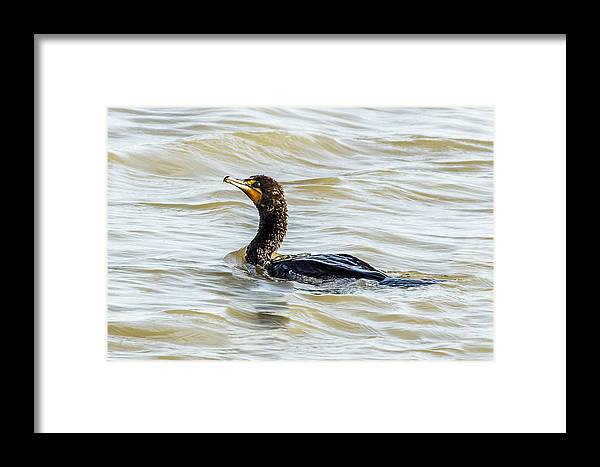 Cormorant Framed Print featuring the photograph Double-breasted Cormorant by Yeates Photography